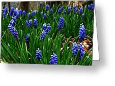 Grape Hyacinths Greeting Card by Julie Dant