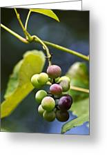 Grapes On The Vine Greeting Card by Christina Rollo