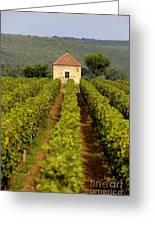 Grapevines. Premier Cru Vineyard Between Pernand Vergelesses And Savigny Les Beaune. Burgundy. Franc Greeting Card by Bernard Jaubert