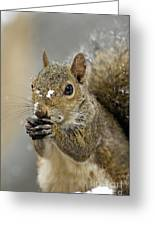 Gray Squirrel - D008392 Greeting Card by Daniel Dempster