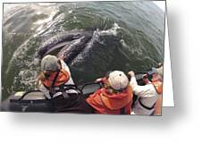 Gray Whale Calf And Tourists Baja Greeting Card by Flip Nicklin