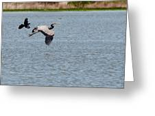 Great Blue Chased By A Grackle Greeting Card by Roy Williams