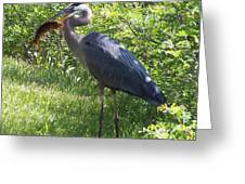 Great Blue Heron Grabs A Meal Greeting Card by Christina Shaskus
