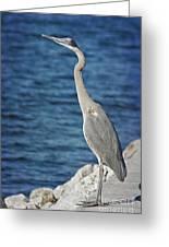 Great Blue Heron Greeting Card by Joan McCool