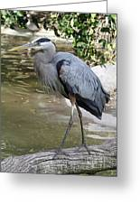 Great Blue Heron Greeting Card by Shoal Hollingsworth