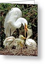 Great Egret Ardea Alba Feeding Chicks Greeting Card by Millard H. Sharp