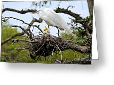 Great Egret Chicks - Sibling Rivalry Greeting Card by Carol Groenen