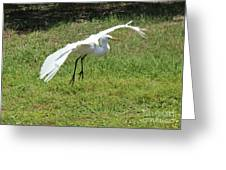 Great Egret Landing Greeting Card by Theresa Willingham