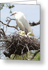 Great Egret Nest With Chicks And Mama Greeting Card by Carol Groenen