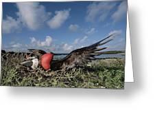 Great Frigatebird Female Eyes Courting Greeting Card by Tui De Roy