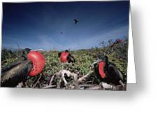 Great Frigatebird Males In Courtship Greeting Card by Tui De Roy