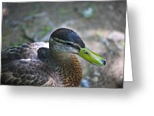 Green-billed Duck Greeting Card by John Hoey
