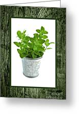 Green Oregano Herb In Small Pot Greeting Card by Elena Elisseeva