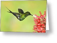 Green Thorntail Hummingbird Greeting Card by Anthony Mercieca