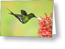 Green Thorntail Hummingbird Greeting Card by Anthony Mercieca