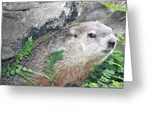 Groundhog Hiding Greeting Card by John Telfer