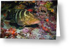 Grouper Greeting Card by Jimmy Nelson