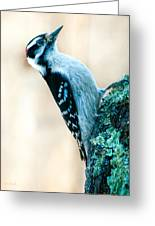 Hairy Woodpecker Greeting Card by Bob Orsillo