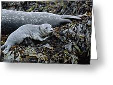 Harbor Seal Pup Resting Greeting Card by Suzi Eszterhas