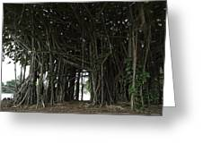 Hawaiian Banyan Tree - Hilo City Greeting Card by Daniel Hagerman