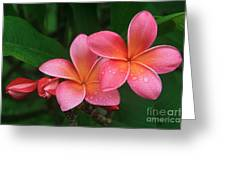 He Pua Laha Ole Hau Oli Hau Oli Oli Pua Melia Hae Maui Hawaii Tropical Plumeria Greeting Card by Sharon Mau