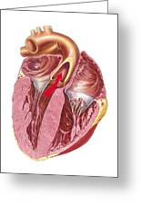 Heart Anatomy, Artwork Greeting Card by Science Photo Library