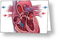 Heart Blood Flow Greeting Card by Evan Oto