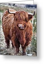 Highland Coo Greeting Card by John Farnan