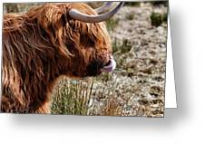Highland Coo With Tongue In Nose Greeting Card by John Farnan