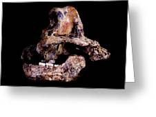 Homo Ergaster Skull (sk-847 And Sk-15) Greeting Card by Science Photo Library