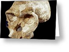 Homo habilis cranium (OH 24) Greeting Card by Science Photo Library