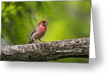 House Finch Greeting Card by Christina Rollo