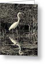 Houston Wildlife Great White Egret Black And White Greeting Card by Joshua House
