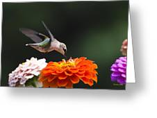 Hummingbird In Flight With Orange Zinnia Flower Greeting Card by Christina Rollo