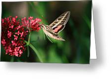 Hummingbird Moth Greeting Card by Donna Kennedy