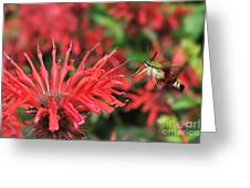 Hummingbird Moth feeding on red flower Greeting Card by Dan Friend