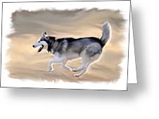 Husky at Play Greeting Card by Kevin Pate
