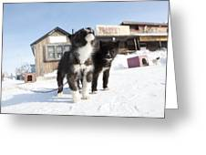 Husky Sled Dog Puppies Greeting Card by Science Photo Library