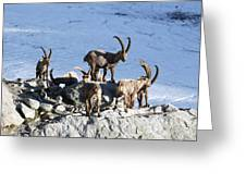 Ibex By A Glacier Greeting Card by Science Photo Library