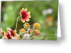 Indian Blanket Greeting Card by Scott Pellegrin