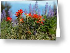 Indian Paintbrush Greeting Card by Robert Bales