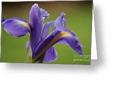 Iris 3 Greeting Card by Carol Lynch