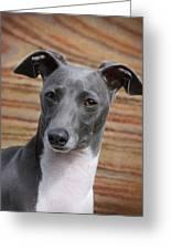 Italian Greyhound Greeting Card by Angie Vogel