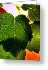 Ivy Light Greeting Card by Chris Berry