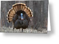 Jake Eastern Wild Turkey Greeting Card by Linda Freshwaters Arndt