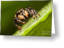 Jumping Spider Phidippus Clarus I Greeting Card by Clarence Holmes