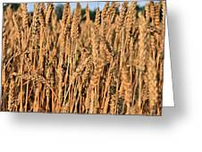 Just Wheat  Greeting Card by JC Findley