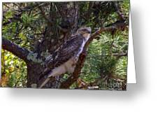 Juvenile Red-tailed Hawk Greeting Card by CapeScapes Fine Art Photography