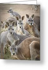 Kangaroos Waga Waga Australia Greeting Card by Jim Julien