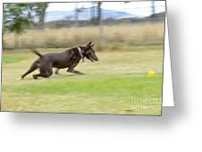 Kelpie Chasing A Ball Greeting Card by Christopher Edmunds